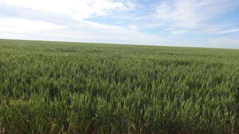 Rich wheat fields irrigated with fertilizer